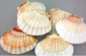 12 un. VIEIRA (BAY SCALLOP WHITE SINGLE)
